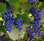 Blue grapes - wine